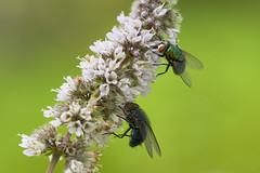 Dinner for Two (Ernst_P.) Tags: 105mm aut f28 inzing macro makro österreich sigma tirol tier insekt fliege pflanze minze blüte blume