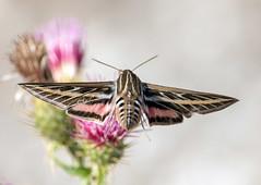 Hummingbird Moth (Ed Sivon) Tags: america canon nature lasvegas wildlife western wild southwest desert clarkcounty vegas flickr nevada