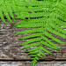 Fresh fern leaves on old wooden background