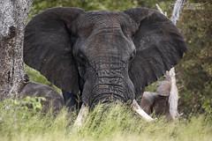 African Elephant - Kruger National Park (BenSMontgomery) Tags: african elephant kruger national park tusk tusker shade hot south africa satara safari wild