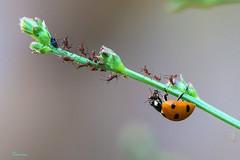Lady bug and it's friends. (Sercan TIRNAVALI) Tags: bandırma doğa makro sercantırnavalı macro uğur böceği lady bug bugs insects nature wild sonya6000 sonyflickraward ngc