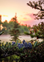 Kävyt (crwl) Tags: cone cones fir spruce sunset trees finland
