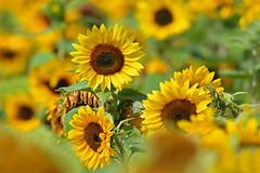 Sunflower (Susanne Weber) Tags: sonnenblume sonnenblumen sommer sun sunflower flower blume yellow gelb grün green natur nikon d500 blühen blüte field flowers yellowflowers blomst solsikke garden garten orange brown unschärfe schärfe bokeh exviewer