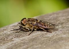 Horsefly --- Tabanus autumnalis (creaturesnapper) Tags: insects uk europe maplelodge horseflies tabanidae diptera tabanusautumnalis