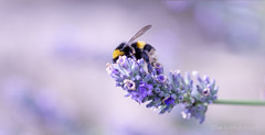 Bee Happy! ;o) (Elisafox22) Tags: elisafox22 sony ilca77m2 100mmf28 macro macrolens telemacro lens smileonsaturday bee solitarybees wildbee beeautiful lavender flowers blue light sunshine bokeh outdoors elisaliddell©2019
