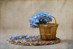 Hydrangea (Chapter2 Studio) Tags: hydrangea textured flower summer peaceful fineart sonya7ii sony90mm stilllife