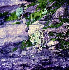 Sedum dasyphyllum L. Dickblättriger Mauerpfeffer Corsian Stonecrop (Spiranthes2013) Tags: scan 6x6 dia kfwolfstetter saxifragales crassulaceae sempervivoideae sedeae dickblattgewächse mauerpfeffer 6x6dias deutschland germany diaarchiv diascan becker bayern bavaria lowerfranconia unterfranken lkmiltenberg nature natur mauern walls fence zaun plant pflanze pflanzendias plantae eudicots eudicosiden angiospermen angiosperms coreeudicots kerneudikotyledonen fetthennen sedumdasyphylluml dickblättrigermauerpfeffer corsianstonecrop