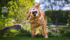Picture of the Day (Keshet Kennels & Rescue) Tags: adoption dog dogs canine ottawa ontario canada keshet large breed animal animals kennel rescue pet pets field nature summer photography golden retriever swim swimming water drops droplets drip soaked wet sake shaking dry pond fun funny face