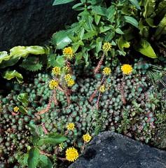 Sedum rupestre subsp. forsterianum (SM.) R.L. EVANS; Syn. Sedum forsterianum SM. Zierliche Felsen-Fetthenne Rock Stonecrop (Spiranthes2013) Tags: sedumrupestresubspforsterianumsmrlevans sedumforsterianumsm zierlichefelsenfetthenne rockstonecrop sedumrupestre sedumforsterianum scan 6x6 dia kfwolfstetter saxifragales crassulaceae sempervivoideae sedeae dickblattgewächse mauerpfeffer 6x6dias sedumacrel deutschland germany diaarchiv diascan becker bayern bavaria lowerfranconia unterfranken lkmiltenberg nature natur mauern walls fence zaun plant pflanze pflanzendias plantae eudicots eudicosiden angiospermen angiosperms coreeudicots kerneudikotyledonen fetthennen steinbrechartige