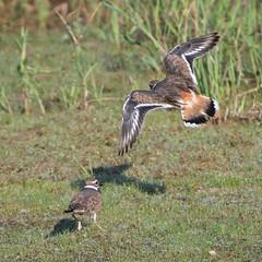Quick Landing. (nickinthegarden) Tags: killdeer jackmanwetlands langleybccanada