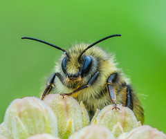 Bee-Autiful. (Omygodtom) Tags: smileonsaturday beeautiful macro existinglight elitebugs masonbee insect bug tamron90mm d7100 detail