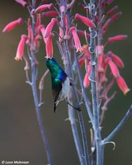 White-bellied Sunbird (leendert3) Tags: leonmolenaar southafrica krugernationalpark naturereserve wildlife wilderness wildanimal wildbirds nature naturalhabitat whitebelliedsunbird coth5 ngc npc