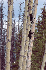 Cubs (Smithers, BC, Canada) (Corporate Traveler) Tags: smithersbc britishcolumbia cubs bearcubs bear blackbear bc canada wildlife nature aspentrees aspen