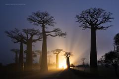 Nikon Z7 Campaign (Marsel van Oosten) Tags: marselvanoosten squiver madagascar madagaskar africa landscape photography phototour workshop backlight sun night twilight bluehour silhouette rays beams trees baobab selfie nikonz7 mirrorless