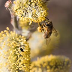 Fleißiges Bienchen! (photobiene) Tags: spring color landschaft nature himmel biene frühling lake natur gelb blue makro macro bee blau farben sky canon see licht blüte teich smileonsaturday beeautiful