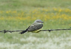 Western Kingbird (casparc) Tags: 2019 bird kingbird westernkingbird