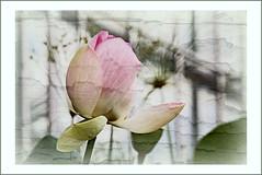 Lotusblume (pappleany) Tags: pappleany outdoor outside flower lotus indischelotus nelumbonucifera bearbeitet doppelbelichtung doubleexposure botanischergarten erlangen mittelfranken blume pflanze
