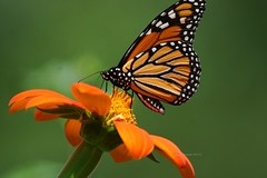 Monarch Butterfly (Anton Shomali - Thank you for over 2 million views) Tags: beautiful capture colors beauty photography photo nature yellow red orange monarch butterfly mexican sunflower color colour bright art bold sony slta77v camera sun summer light sunny