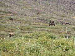 Grizzly and deer (oneofmanybills) Tags: grizzly bear deer caribou reindeer northwestterritories canada dempsterhighway depmster arctic olympus micro43