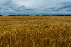 Central Alberta Barley Field (Bracus Triticum) Tags: field barley central alberta summer canada landscape august 8月 2019 カナダ hachigatsu 八月 hazuki 葉月 reiwa アルバータ州 leafmonth