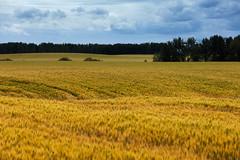 Fawcett Wheatfield Landscape (Bracus Triticum) Tags: fawcett wheatfield landscape アルバータ州 alberta canada カナダ 8月 八月 葉月 hachigatsu hazuki leafmonth 2019 reiwa summer august
