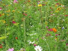 IMG_2714 (Monty Jahn) Tags: blumen blumenwiese wildblumen gerlingen badenwürttemberg flowers blüten fleur flor natur nature autumn blätter foliage feld field