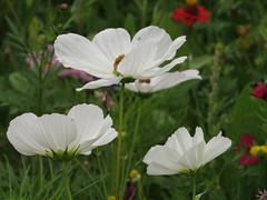 IMG_2712 (Monty Jahn) Tags: blumen blumenwiese wildblumen gerlingen badenwürttemberg flowers blüten fleur flor natur nature autumn blätter foliage feld field