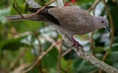 Eurasian Collared-Dove (Streptopelia decaocto) (ACEZandEIGHTZ) Tags: bird eurasioncollareddove avian nikond3200 tree perched branches streptopeliadecaocto macro bokeh closeup feathered backyard birdwatcher
