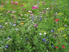 IMG_2708 (Monty Jahn) Tags: blumen blumenwiese wildblumen gerlingen badenwürttemberg flowers blüten fleur flor natur nature autumn blätter foliage feld field