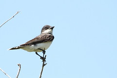 Eastern Kingbird (jlcummins) Tags: easternkingbird bird wenas wenaslake yakimacounty washingtonstate tamronsp150600mmf563divcusd