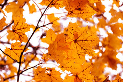Colorful Autumn ♥ (Siniirrphotography) Tags: photography photographing autumn syksy finnish suomi finland nature natural orange leaf leafs tree siniirr