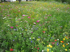 IMG_2711 (Monty Jahn) Tags: blumen blumenwiese wildblumen gerlingen badenwürttemberg flowers blüten fleur flor natur nature autumn blätter foliage feld field
