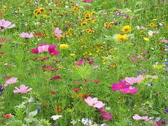 IMG_2710 (Monty Jahn) Tags: blumen blumenwiese wildblumen gerlingen badenwürttemberg flowers blüten fleur flor natur nature autumn blätter foliage feld field