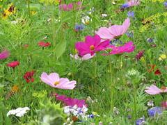 IMG_2709 (Monty Jahn) Tags: blumen blumenwiese wildblumen gerlingen badenwürttemberg flowers blüten fleur flor natur nature autumn blätter foliage feld field