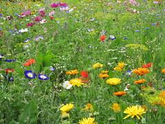 IMG_2706 (Monty Jahn) Tags: blumen blumenwiese wildblumen gerlingen badenwürttemberg flowers blüten fleur flor natur nature autumn blätter foliage feld field