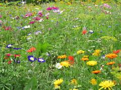 IMG_2705 (Monty Jahn) Tags: blumen blumenwiese wildblumen gerlingen badenwürttemberg flowers blüten fleur flor natur nature autumn blätter foliage feld field