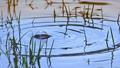 ''Ready for a Pop'' ?? (Bob's Digital Eye 2) Tags: abstract bobsdigitaleye2 bubble canon canonefs55250mmf456isstm depthoffield flicker flickr outdoor puddle rain ripples water