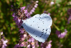 Holly Blue (Essex Explorer) Tags: hollyblue celastrinaargiolus p1200825 laindoncommon littleburstead essex