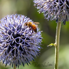 Happy National Honey Bee Day, August 17th, 2019! (rebeccalatsonphotography) Tags: bee honeybee flower thistle telephoto canon summer insect rebeccalatsonphotography 5ds 70200mm july
