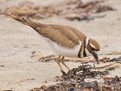 Killdeer, Crescent Beach SP (Bill Bunn) Tags: killdeer capeelizabeth maine