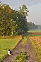 Fleur - immer dabei (Uli He - Fotofee) Tags: ulrike ulrikehe uli ulihe ulrikehergert hergert nikon nikond90 burghaun steinbach klausmarbach rosbach plätzer morgenspaziergang fleur sheltie shetlandsheepdog kühe