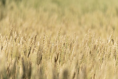 Depth in the Field (Kevin Tataryn) Tags: wheat field farm grain growth crop food nikon d500 300mm pf canada quebec