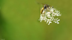 Bee-autiful - 7256 (✵ΨᗩSᗰIᘉᗴ HᗴᘉS✵85 000 000 THXS) Tags: insect flower flora nature hensyasmine