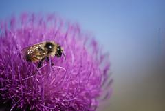 Horton hears a bee! (Theresa Finley) Tags: smileonsaturday beeautiful flower bee macro purple blue thistle nikond750