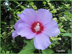 Un hibiscus de mon jardin pour vous souhaiter demain un bon dimanche (Figareine- Michelle) Tags: hibiscus alittlebeauty coth coth5 fantasticnature