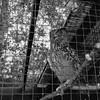 At Danish Camp: European Eagle Owl