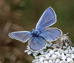 Common Blue (hussey411) Tags: amateurphotography photographer photography macro nature wildlife insect butterfly commonblue