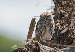 Little Owl-8500490 (seandarcy2) Tags: birds wild wildlife animals owls owl juvenile littleowl bucks uk birdsofprey nonnative woodland woodpile