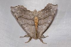 Seraph Moth, Olceclostera seraphica (webersaustin) Tags: