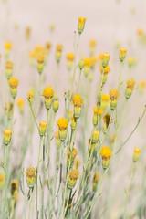 Flowers of the Desert (webersaustin) Tags: